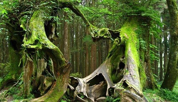 Những thân cây ma quái tại khu rừng Hoia Baciu.