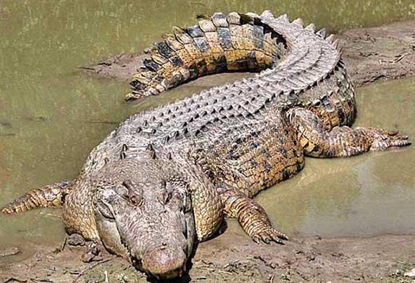 Giải mã nằm mơ thấy cá sấu đánh con gì