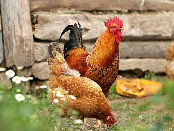 Mơ thấy gà mái là điềm báo điều gì?