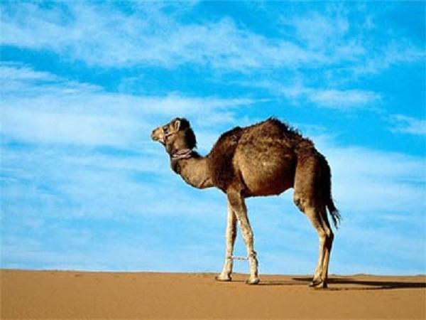 Mơ thấy lạc đà có điềm báo gì? đánh con số nào? ?
